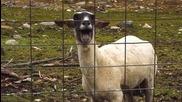композиции на песни + овце ( Много смях )