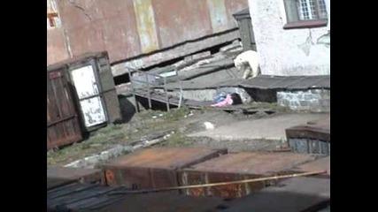 Жена оцелява след атака от бяла мечка
