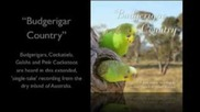 From the album 'budgerigar Country'