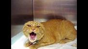 Много ядосана котка