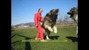 Най-големите кучета-шар планинец