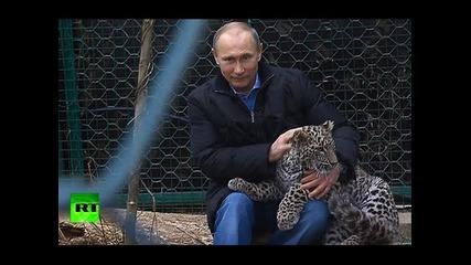 Владимир Путин в клетка със Снежен Леопард