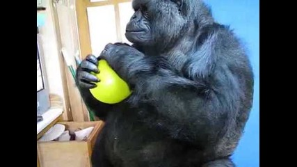 Говорещата Горилата Коко си играе с Балон