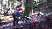 Abattage d'un sapin de 80cm de diam