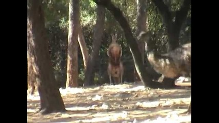 Remi Gaillard - Kangaroo