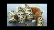 Burmese Python strikes/constricts feeder bunny rabbit