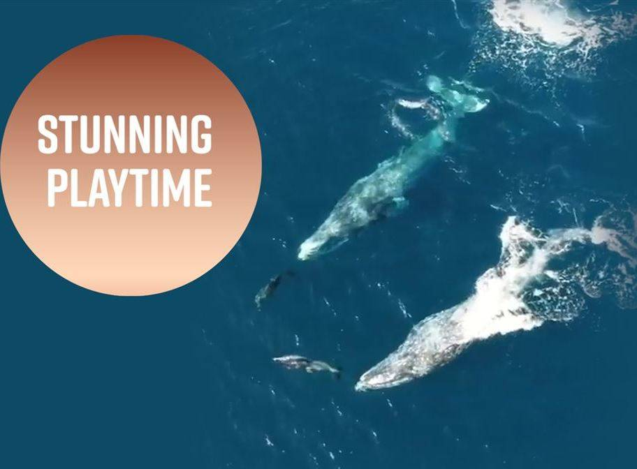 Gray whale surfing: California dolphins caught on film