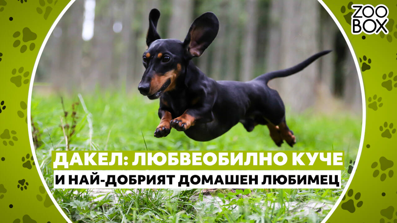 Дакел: любвеобилно куче и най-добрият домашен любимец