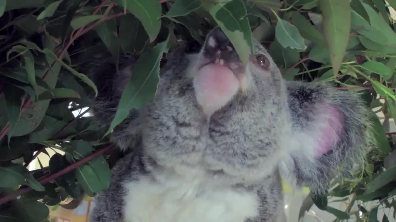 Най-сладката коала на света - с различен цвят очи