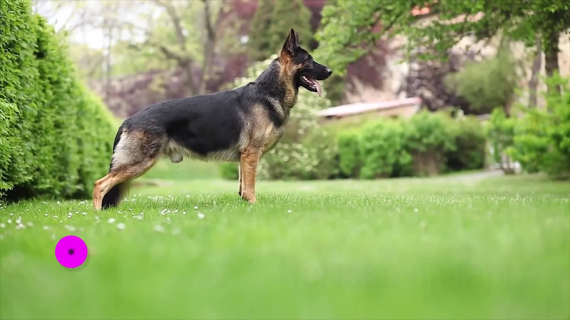 10-те най-умни породи кучета