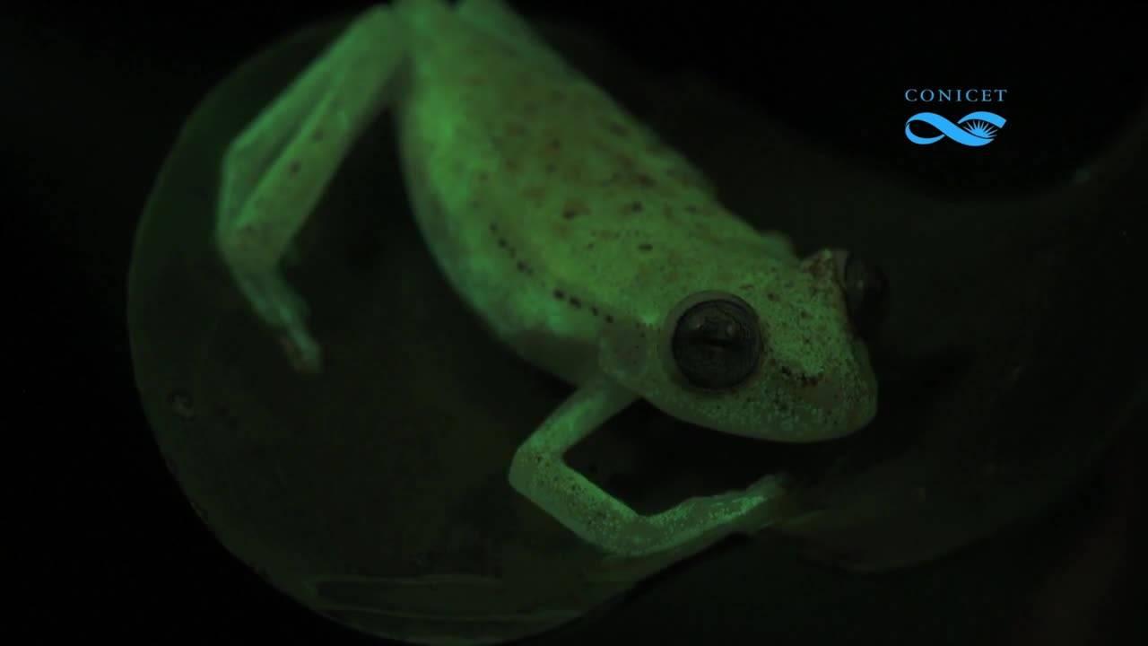 Учени откриха жаба, която свети в тъмнината
