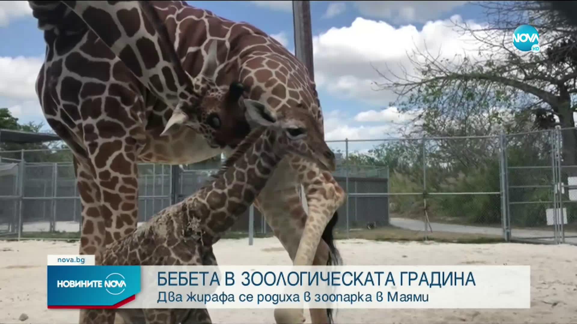 Два жирафа се родиха в зоопарка в Маями