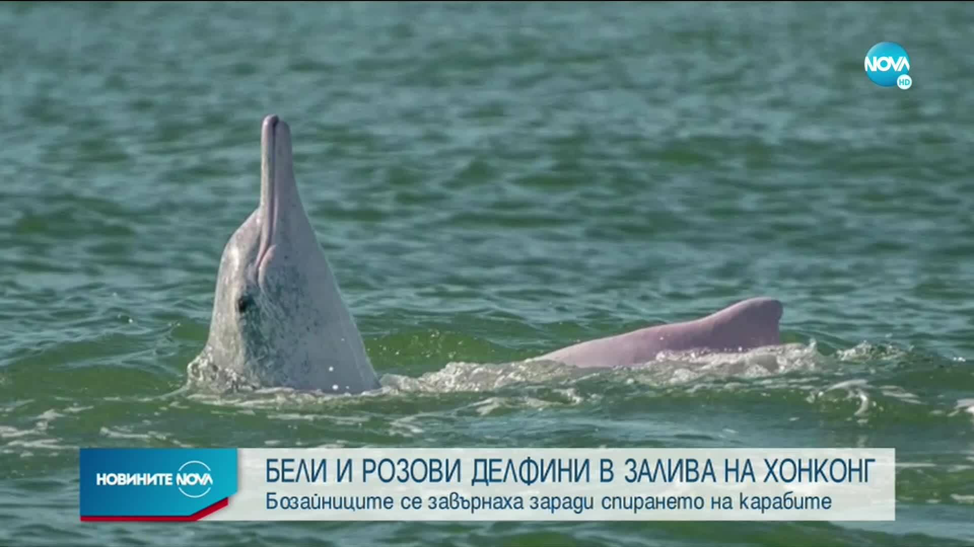 Бели и розови делфини се завърнаха в залива на Хонконг