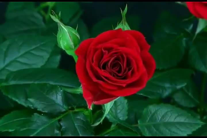 Как розата става толкова красива