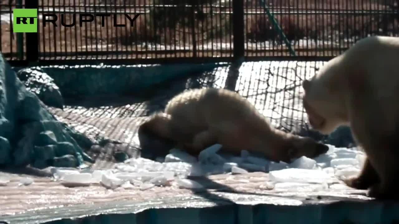 Любов от пръв поглед между полярни мечки