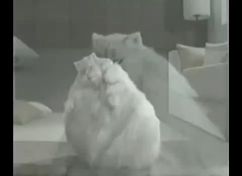 pisica manelista