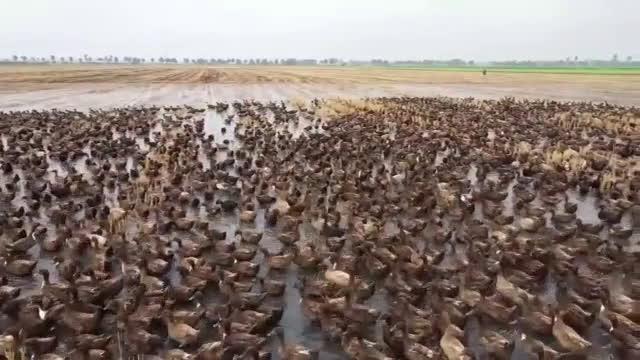 """""""Армия"""" от 10 000 патици чисти от вредители оризища в Тайланд"""