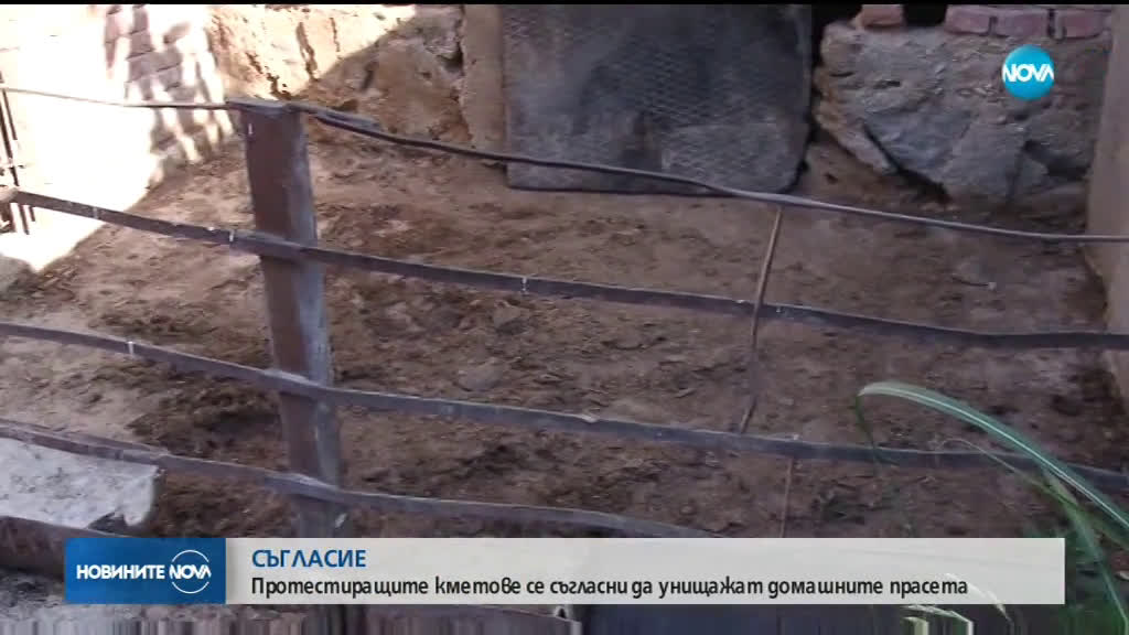 Ще бъдат ли умъртвени принудително прасетата в Пазарджишко?