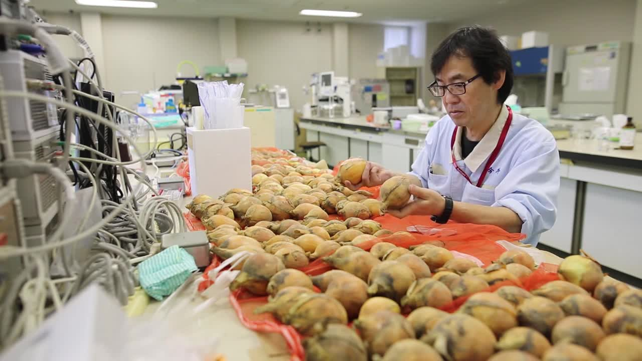 Japan: Scientists develop 'tearless' onions after 20 years of research