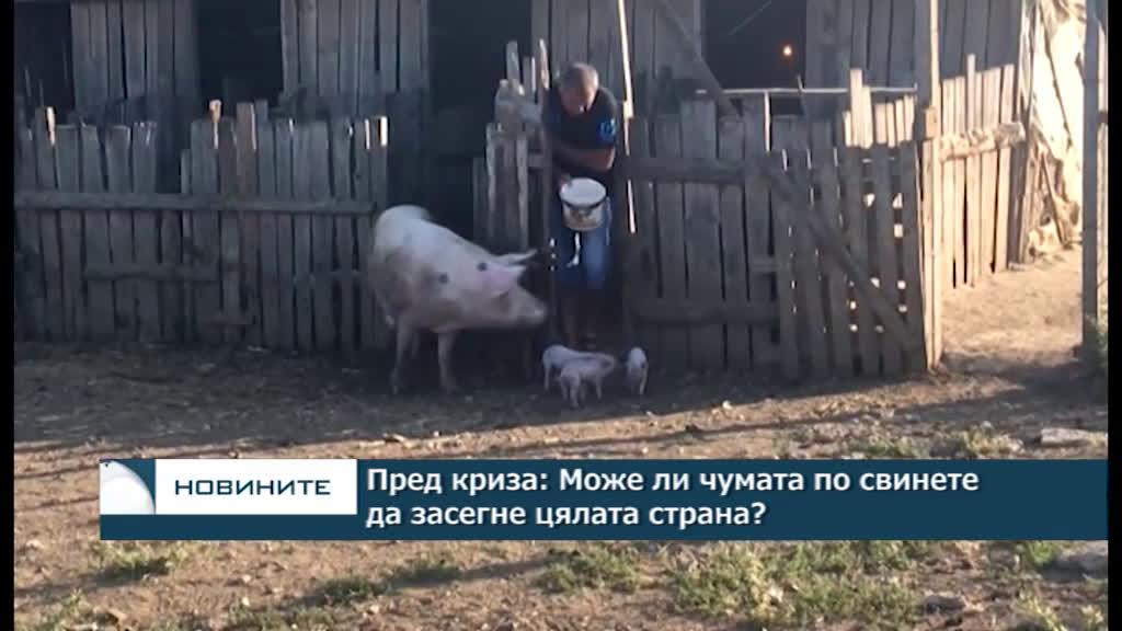 Пред криза: Може ли чумата по свинете да засегне цялата страна?