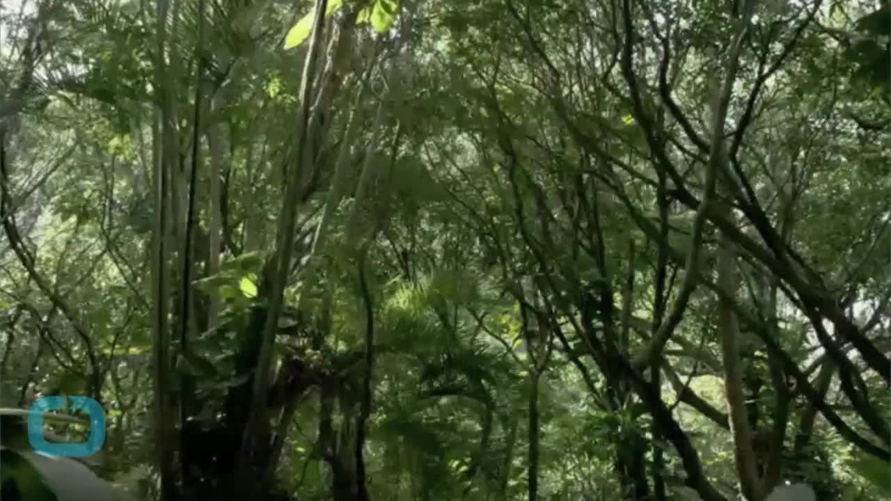 The Amazon Trees That Do Most to Slow Global Warming