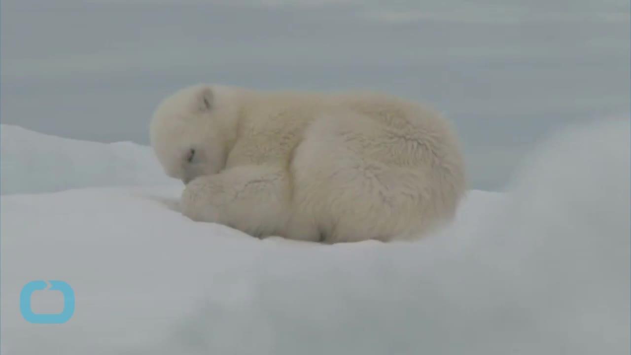Какво се случва с полярните мечки