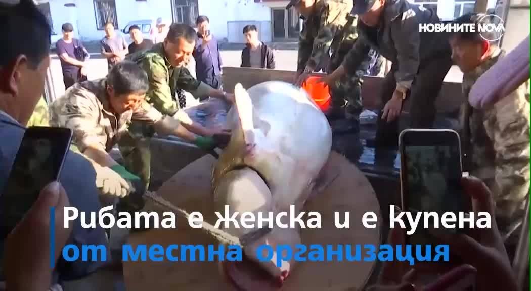 Китайски рибари уловиха 514-килограмова есетра