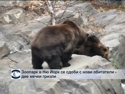 Зоопарк в Ню Йорк се сдоби с нови обитатели - две мечки гризли