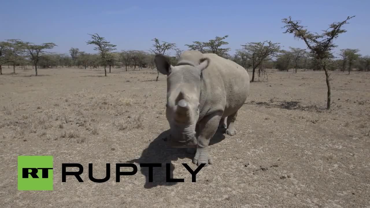 Кения: Вижте три от четирите последни бели носорози