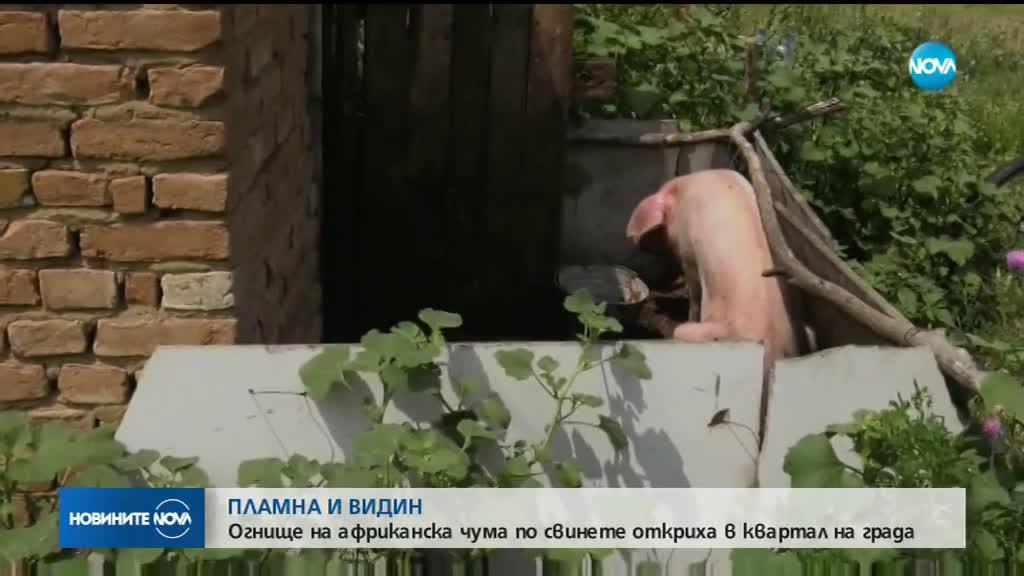 Потвърдиха още едно огнище на чума по свинете във Видин