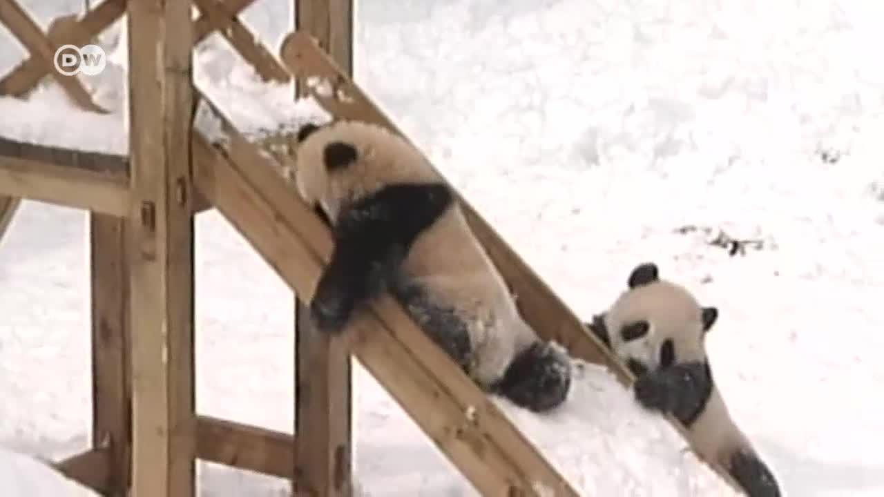 Защо пандите изглеждат така?