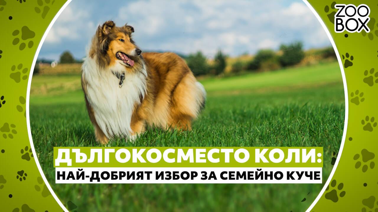 Дългокосместо коли: най-добрият избор за семейно куче