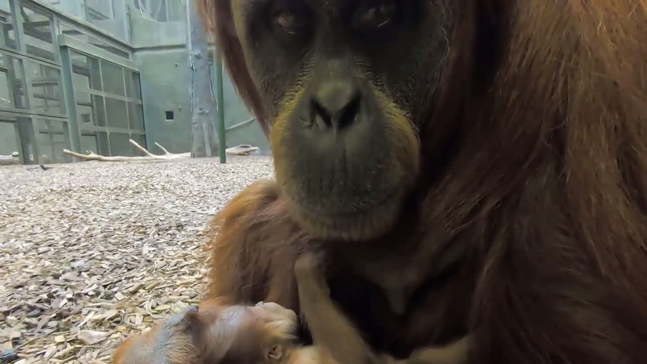 Baby orangutan from one of world's most endangered species born at UK zoo