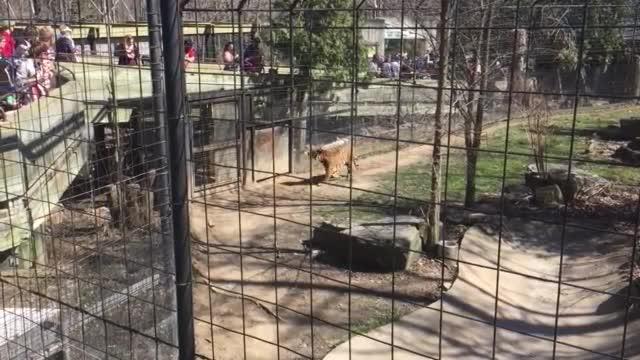 Жена влезе в клетка на тигри, за да си вземе шапката