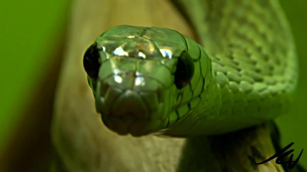 Мамба зелена