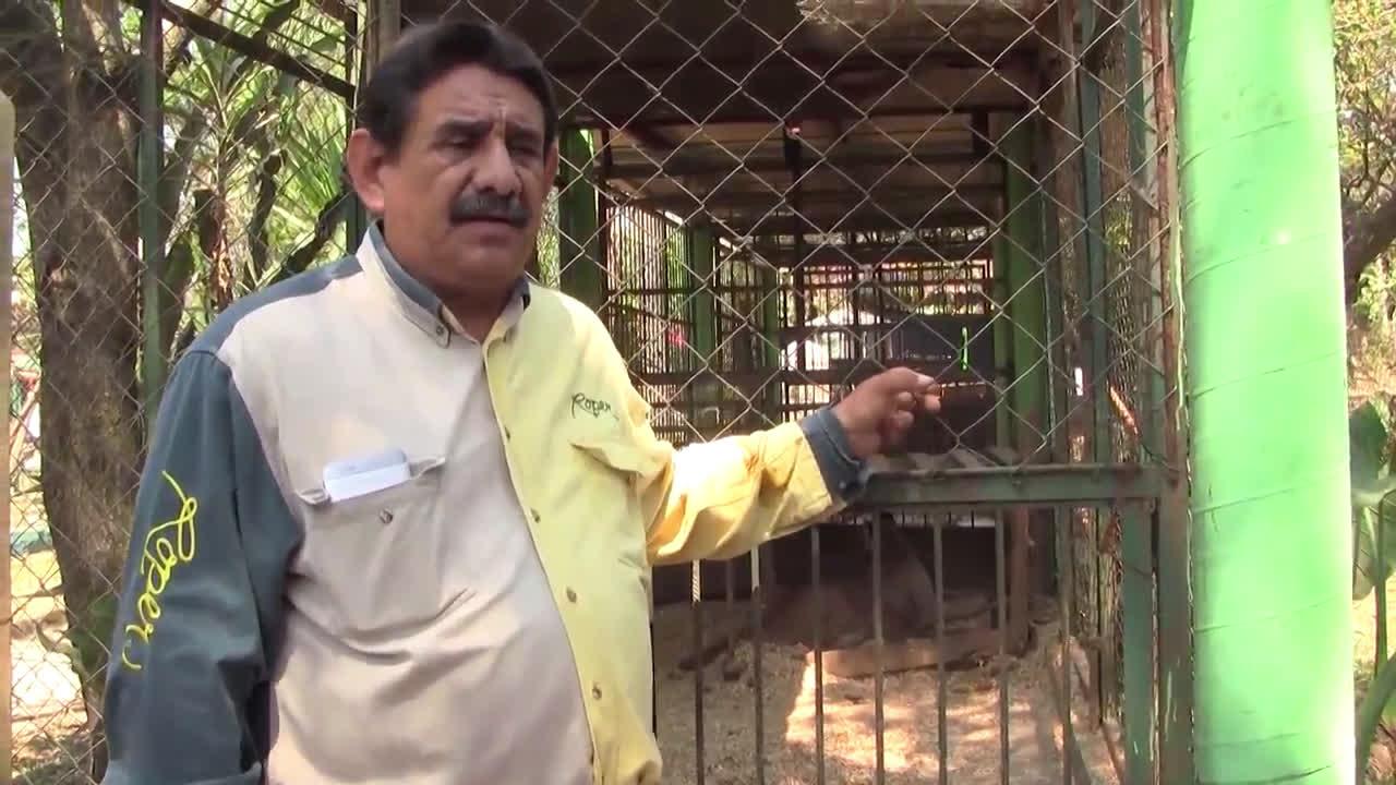 Bengal tiger cub in Veracruz is named 'Covid' after the coronavirus