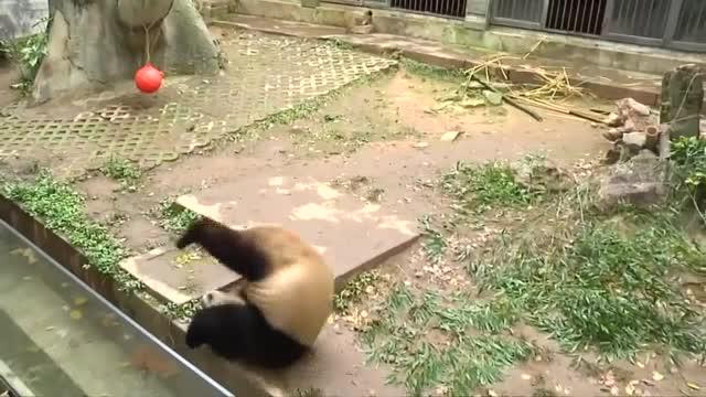 Панда прави салто (ВИДЕО)