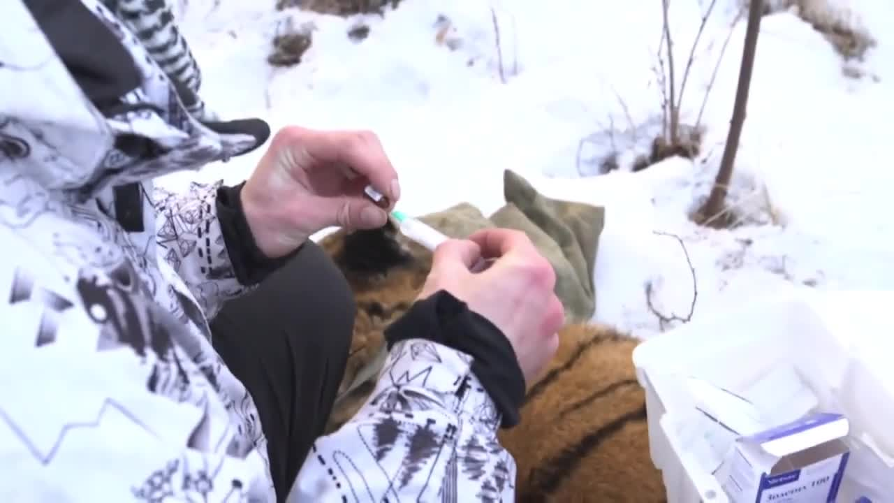 Russia: Amur tiger spotted roaming free tranquilised and taken to zoo