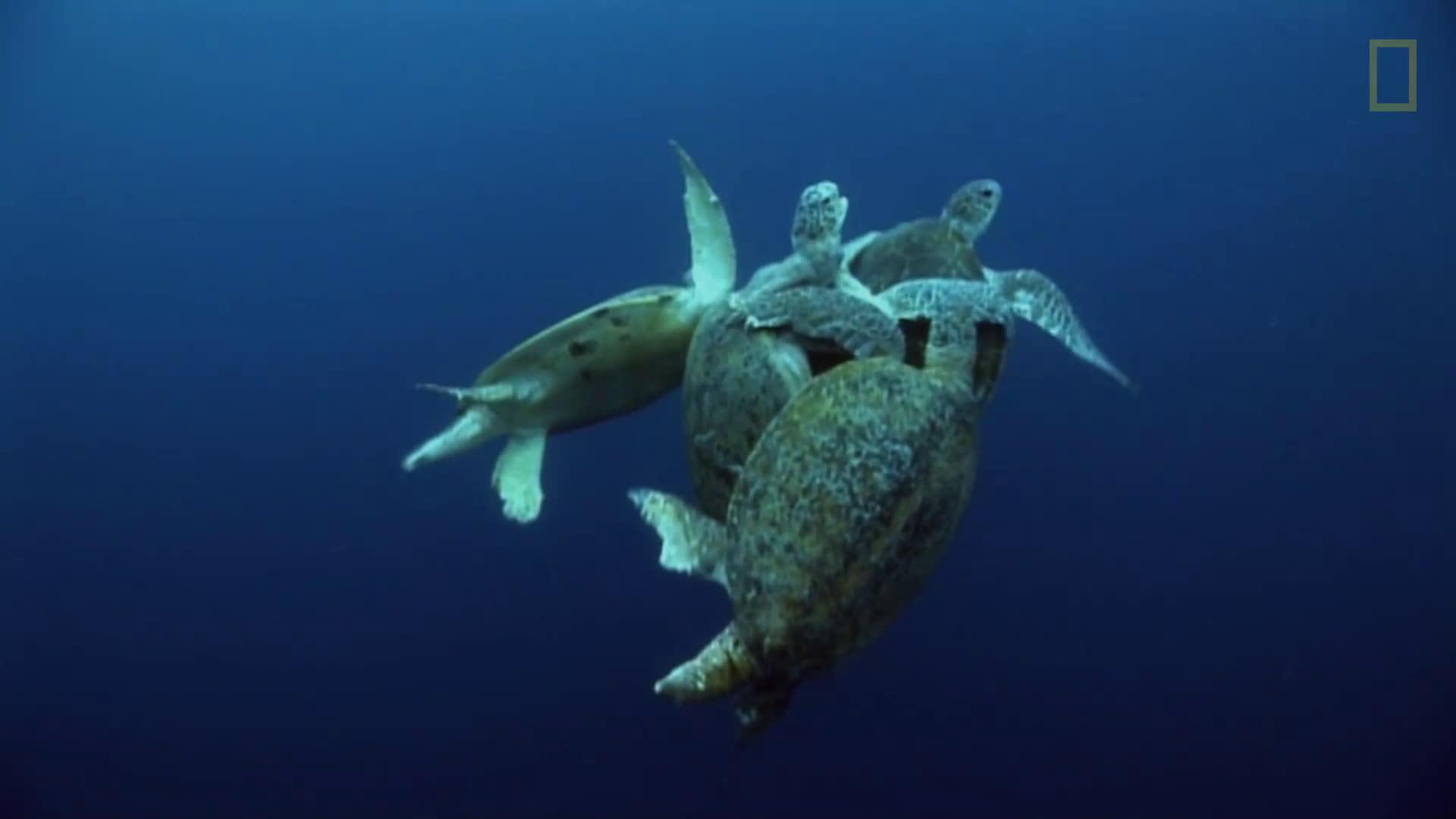 Опасна любов: Зелени морски костенурки
