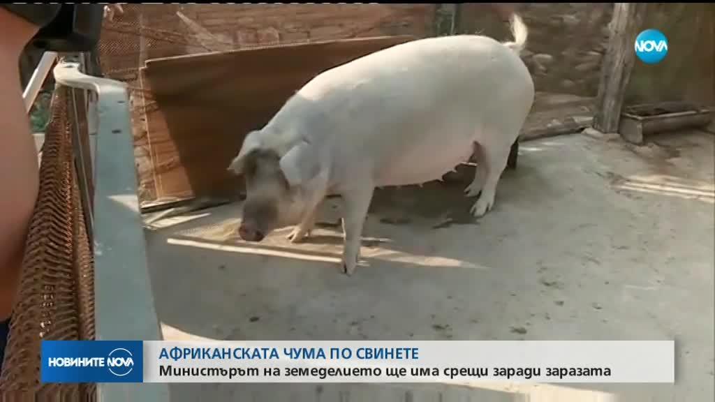 ЧУМА ПО СВИНЕТЕ: Министърът на земеделието разговаря с Букурещ за заразата