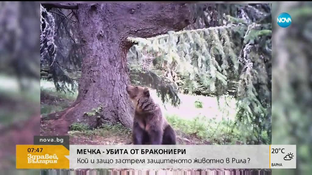 Кой и защо застреля защитен вид мечка в Рила?