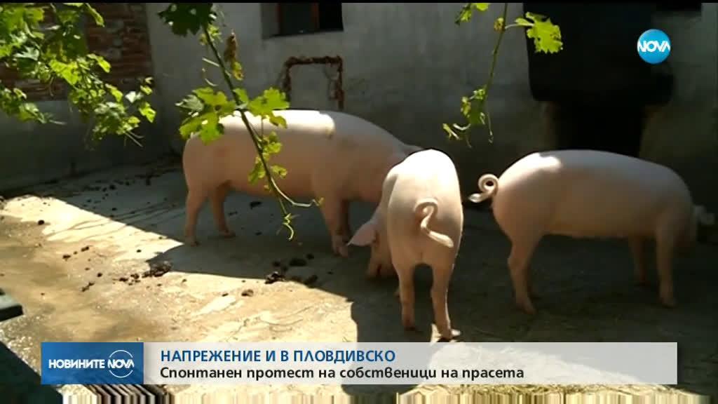Продължават протестите на свиневъдите