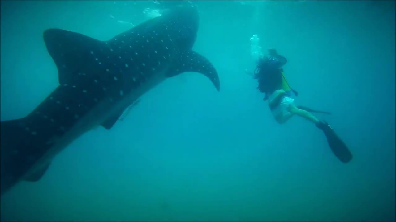 Да се гмуркаш с китови акули!