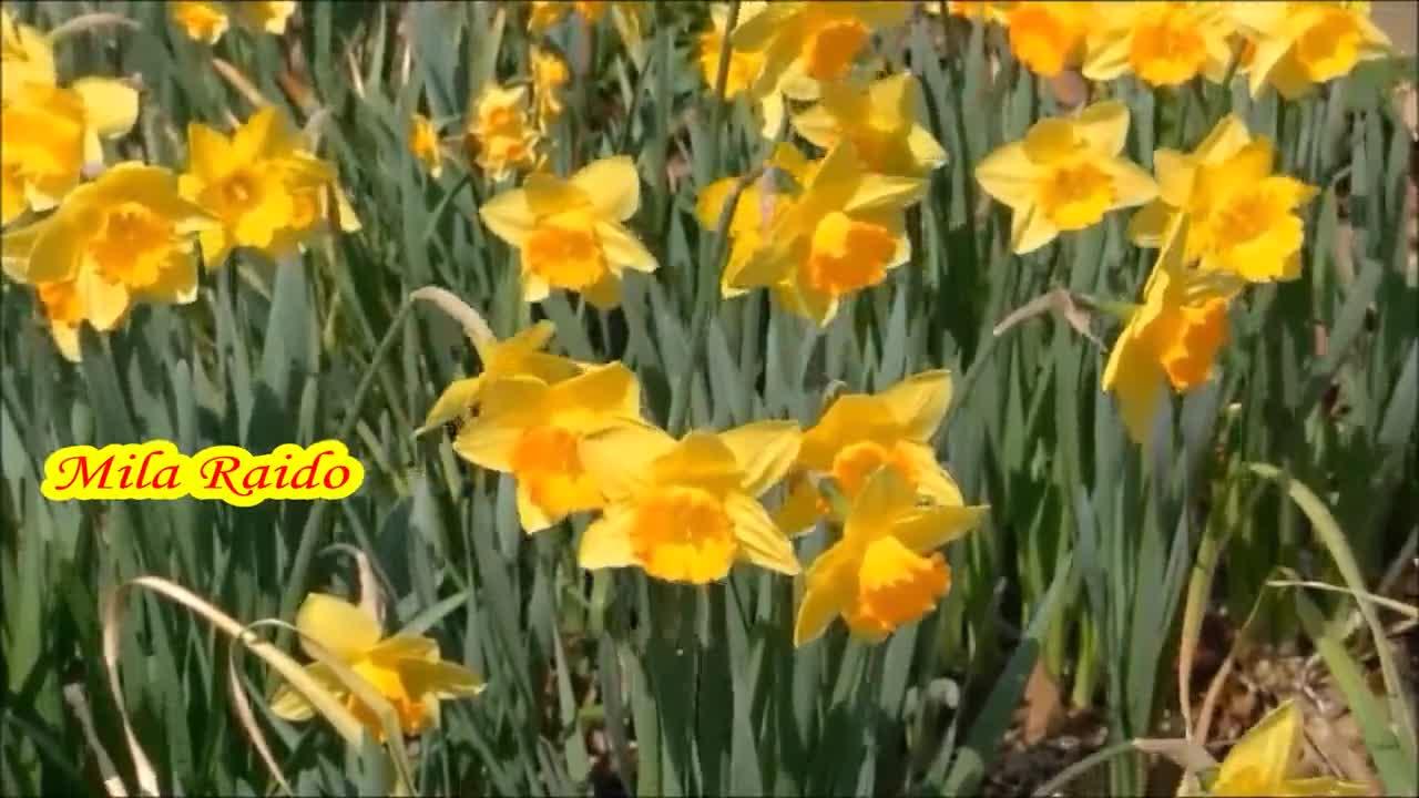 фото жасмина цветок